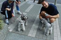 3 Gray Poodles